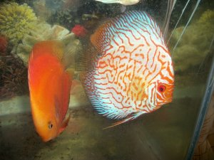 11 discus fish for sale mumbai free classified ads for Discus fish for sale near me