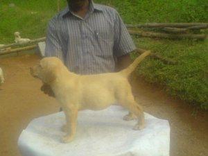 KCI Labrador Retriever Pups Available - Pollachi - free