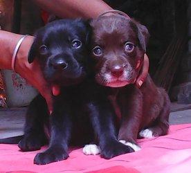 31 days old labrador puppies sale - HowrahM C - free