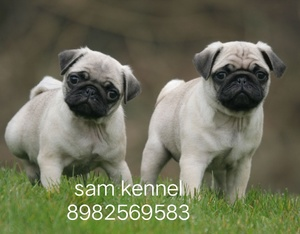 Pug Puppies For Sale In Bhopal 8982569583 Bhopal Free Classified Ads