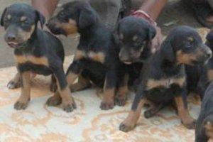 Doberman puppies for Sale - Mumbai - Mumbai - free