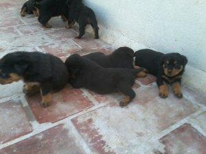 Kci Registered Best Qwality Puppies For Sale Madurai Free