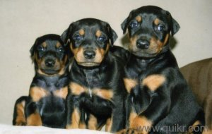Doberman Puppies for Sale ::9836043884 :: - Kolkata - Dum