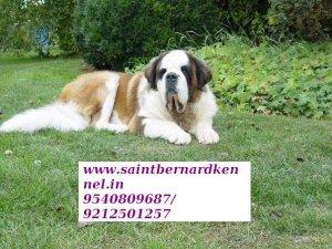 10 (saint bernard) pups for sale for sale - Guwahati - free