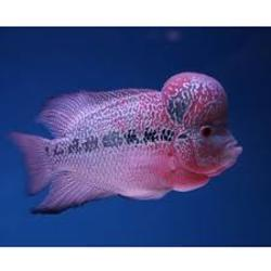 Flowerhorn fish (red dragon) only for 1200 - Hyderabad - free