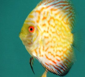 Discus fish red map and blue diamond sell dombivali for Discus fish for sale near me