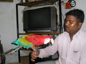Beautiful macaw for sale - Indore - free classified ads