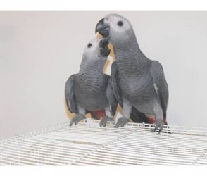 All kinds of exotic birds for sale - Barrackpore - free