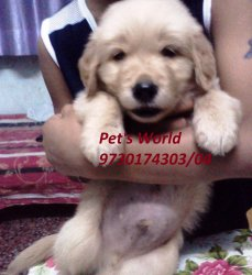 Healthy Golden Retriever Puppies For Sale By Pets World Pune