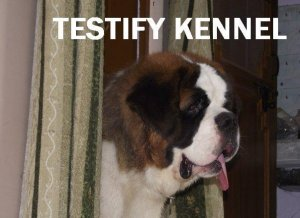 Saint bernard dogs and pups for sale in saint bernard kennel