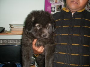 Imported and champion bloodline tibetan mastiff puppies for sale at