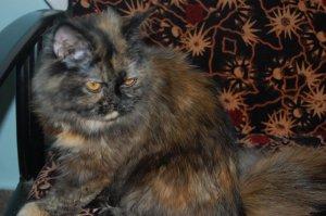 Free adoption of persian cat in Bangalore - quikr.com