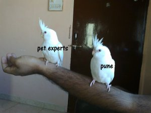 Hand Tame Cockatiels for sale - Pune - free classified ads