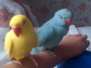 Indian Ringneck Parakeet - Madgaon - free classified ads