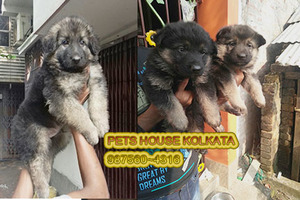 Ready Stock All Types Of Dogs for sale at PORT BLAIR - Port