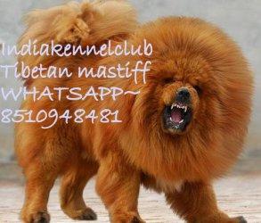Healthy ~Tibetan Mastiff puppies for sale Whatsapp
