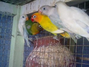 All species of African, cockteil, finches, budgies for sale