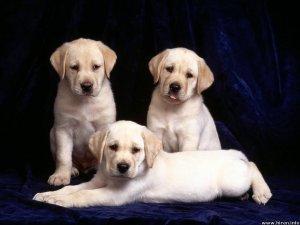 Labrador Rottweiler Pups 4 Sales Call 9250393698 Delhi Free