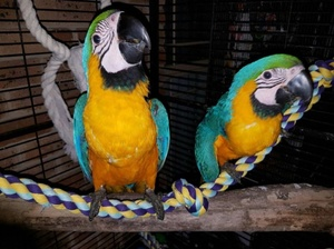 Blue & Gold Macaw Parrots For sale - Hyderabad - free