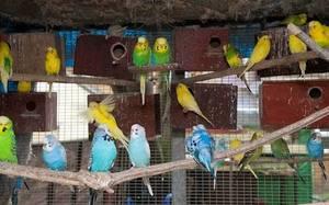 Love birds for sale in mysore at wholesale price - Mysore